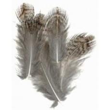English partridge - brown back